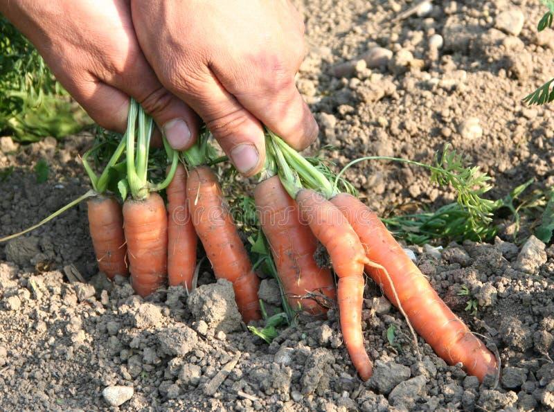 daucus морковей carota стоковые изображения rf
