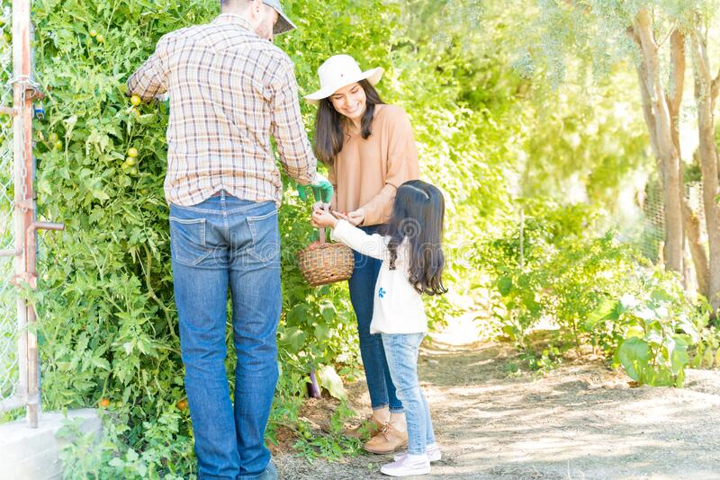 Daughter Picking Tomatoes With Parents In Farm stock photography