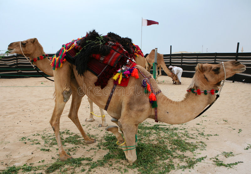 Dauhańskiej Qatar kuśtykający wielbłądów zdjęcia royalty free