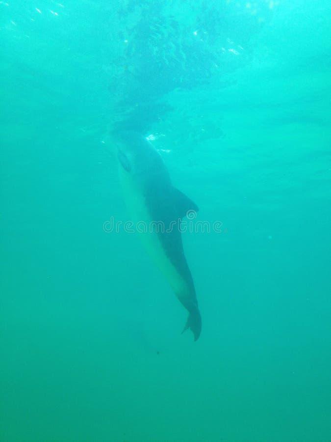 dauphin Émoussé-flairé dans l'aquarium photos libres de droits