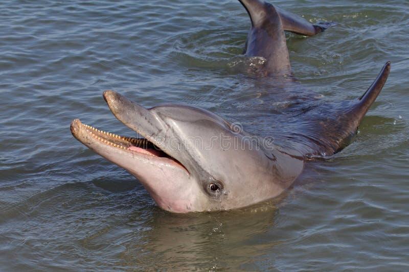 Dauphin bouteille-flairé sauvage, singe Mia, compartiment de requin image libre de droits