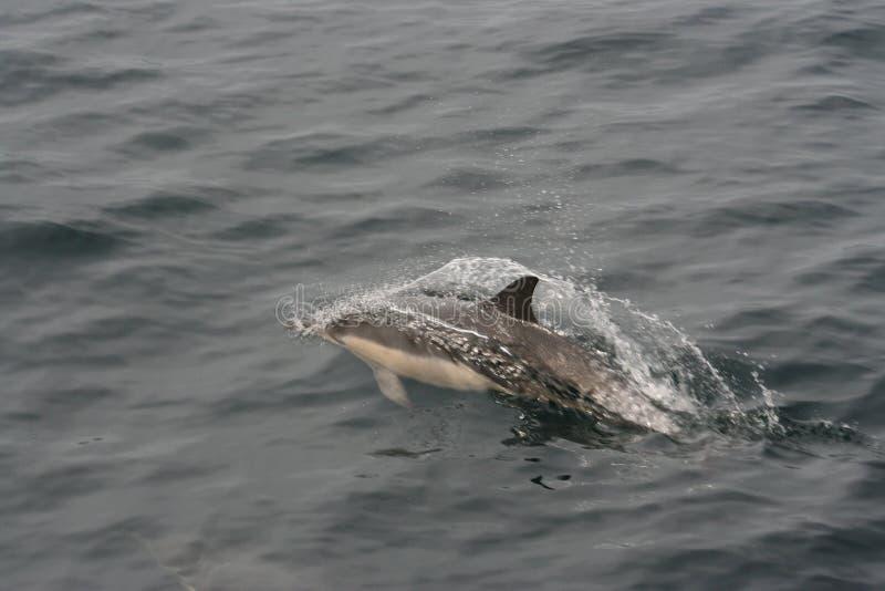 Dauphin commun (delphis de Delphinus) images stock