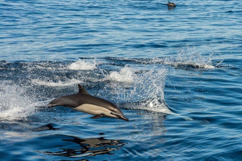 Dauphin commun sautant en dehors de l'océan image libre de droits