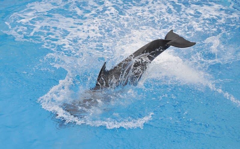 Dauphin dans l'eau image stock