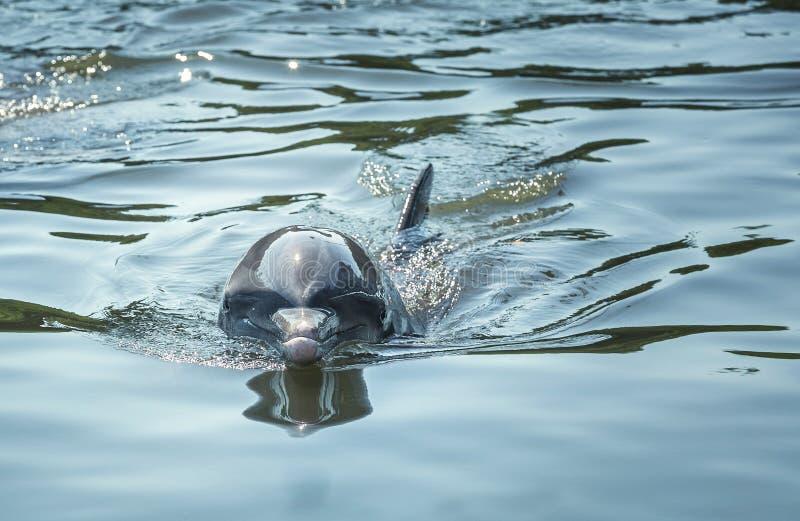 Dauphin de Bottlenose, un dauphin bière de malt-bodied avec un bec court distinct photographie stock libre de droits