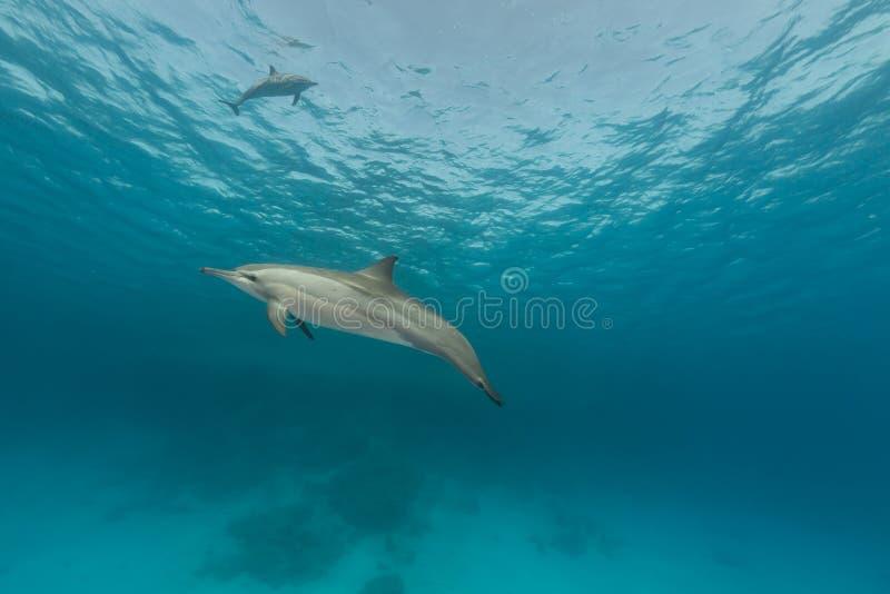 Dauphin de fileur (longirostris de stenella) en Mer Rouge. photos libres de droits