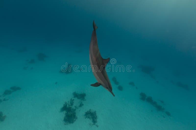 Dauphin de fileur (longirostris de stenella) en Mer Rouge. images libres de droits