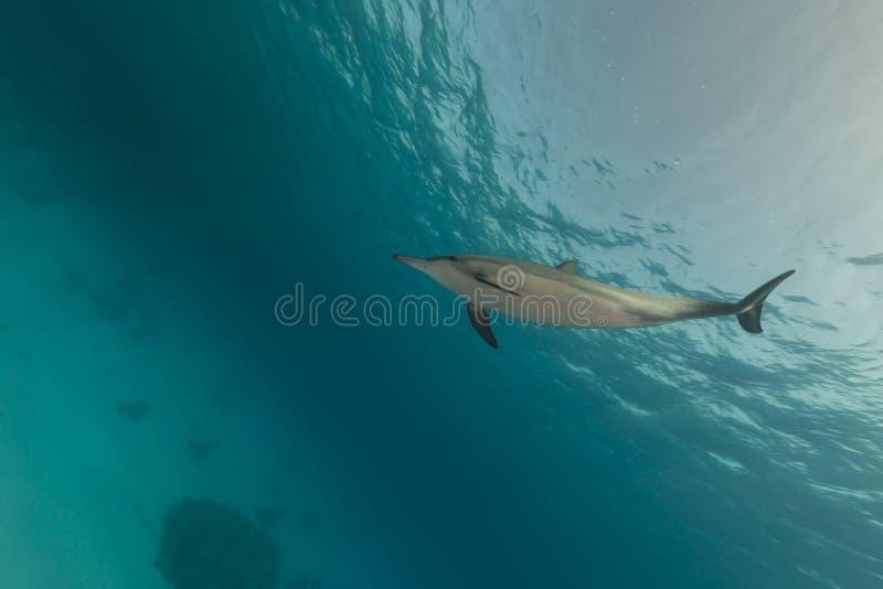 Dauphin de fileur (longirostris de stenella) en Mer Rouge. photos stock