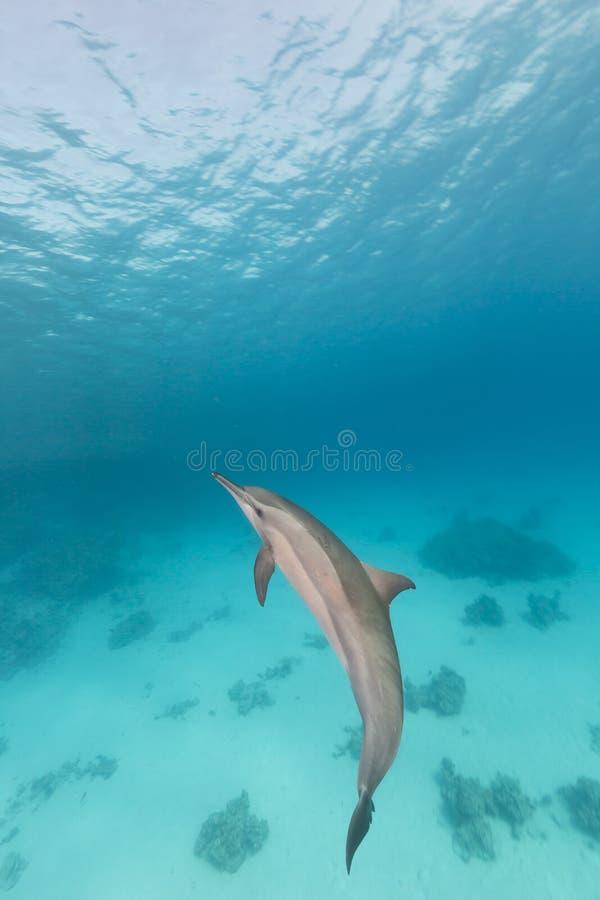 Dauphin de fileur (longirostris de stenella) en Mer Rouge. image libre de droits