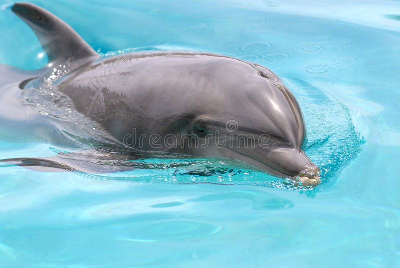 Dauphin de natation images stock