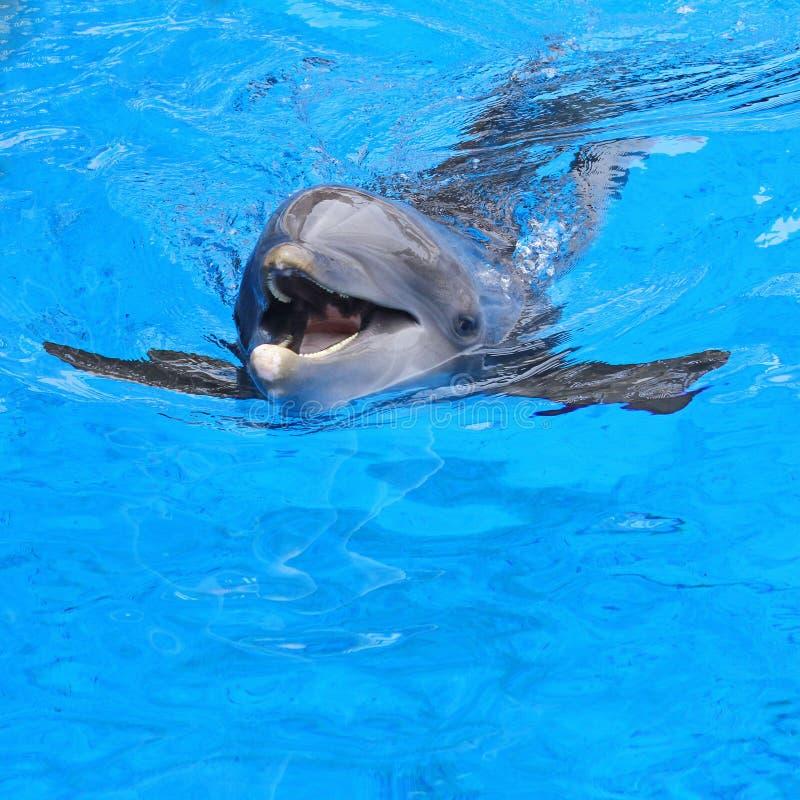 Dauphin de natation photo libre de droits