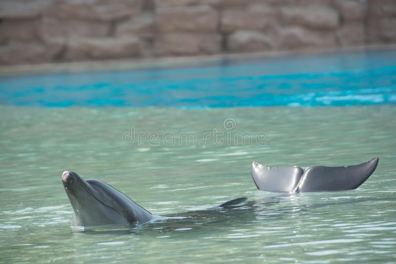 Dauphin de natation photographie stock