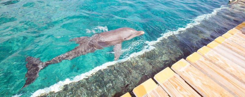 Dauphin en mer bleue photo libre de droits