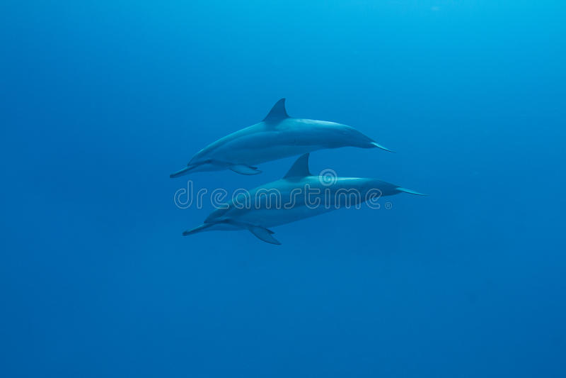 Dauphin hawaïen de fileur image libre de droits