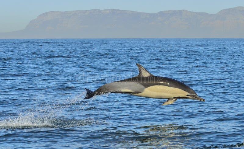Dauphin, nageant dans l'océan photographie stock libre de droits