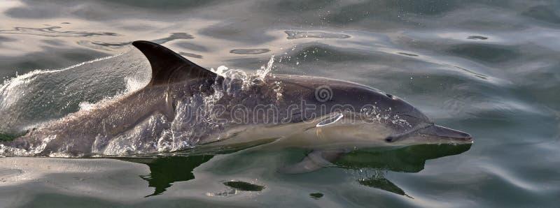 Dauphin, nageant dans l'océan image libre de droits