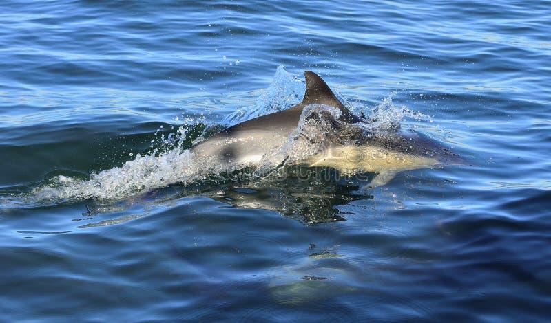 Dauphin, nageant dans l'océan photo stock