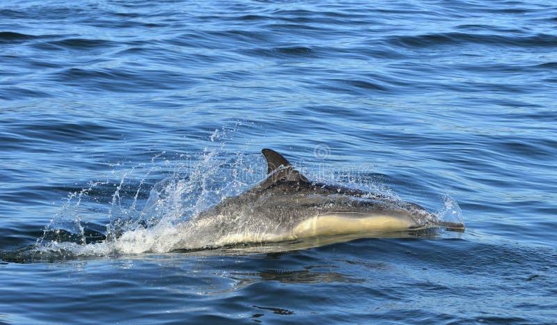 Dauphin, nageant dans l'océan images libres de droits