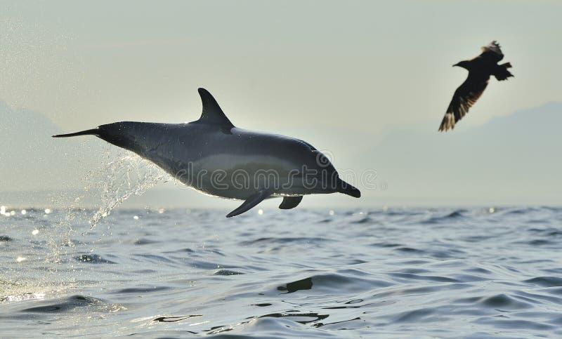 Dauphin sautant de l'eau image libre de droits