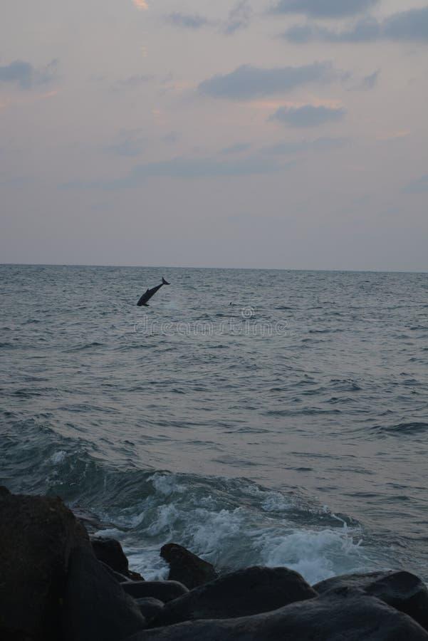 Dauphins à la Mer Rouge Jeddah photo libre de droits