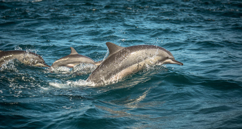 Dauphins branchants images stock
