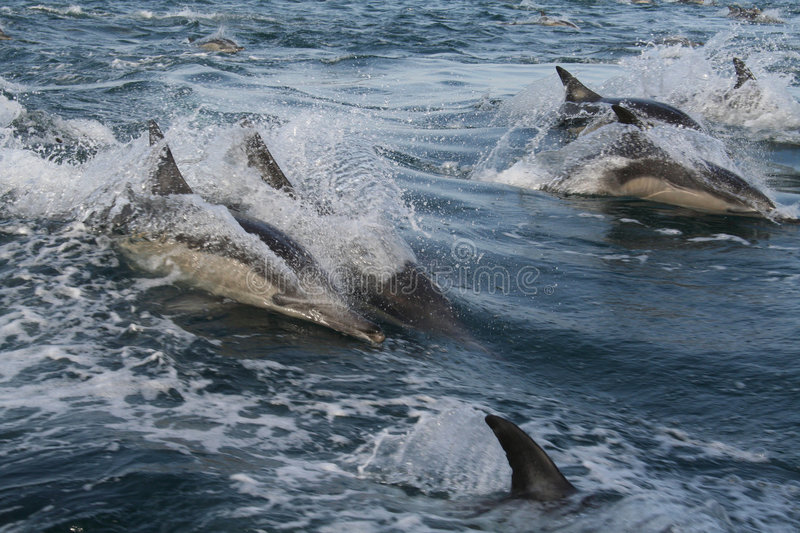 DAUPHINS COMMUNS 4 photos stock