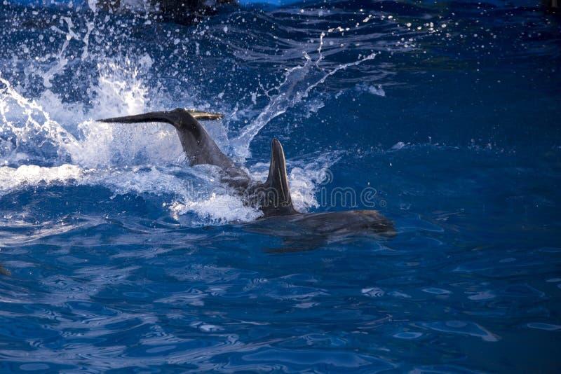 Dauphins dans l'océan Dauphins avec rayé de retour Chasse pour des dauphins Protection des animaux photos libres de droits