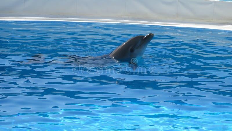Dauphins dans la piscine préparant en démonstration photo libre de droits
