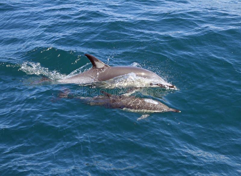 Dauphins dans le sauvage image libre de droits