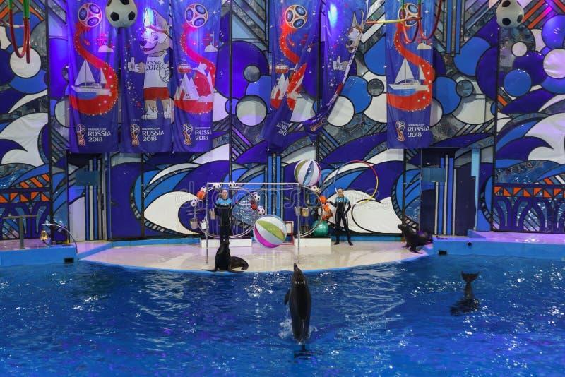 Dauphins de Bottlenose et grands dauphins, ou lat de dauphins de bottlenose Truncatus de Tursiops et lat d'otaries Otariinae à un photo stock