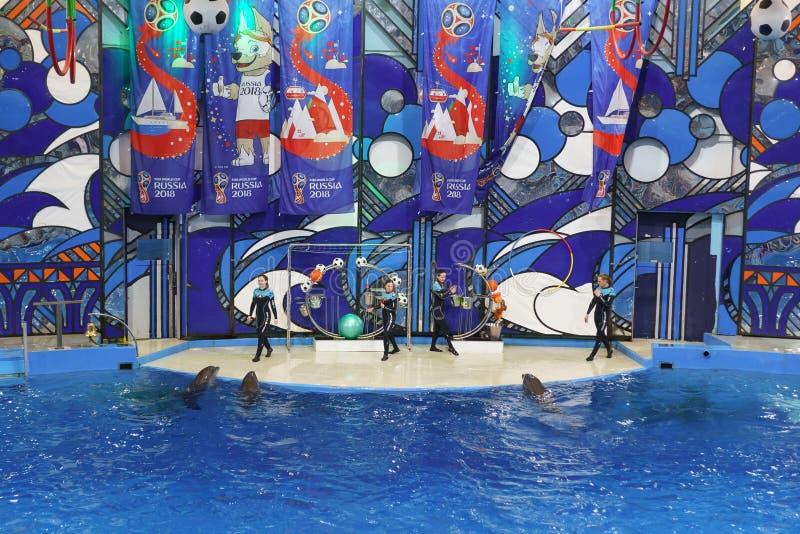 Dauphins de Bottlenose ou grand, bouteille-flairé lat de dauphins Truncatus de Tursiops avec des boules à Sotchi Dolphinarium en  images stock
