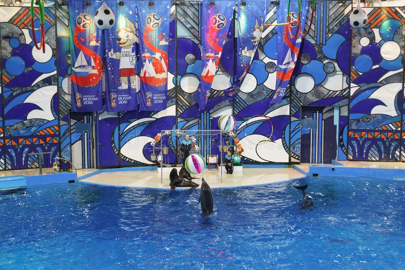 Dauphins de Bottlenose ou grand, bouteille-flairé lat de dauphins Truncatus de Tursiops et lat d'otaries Otariinae avec des boule photos stock