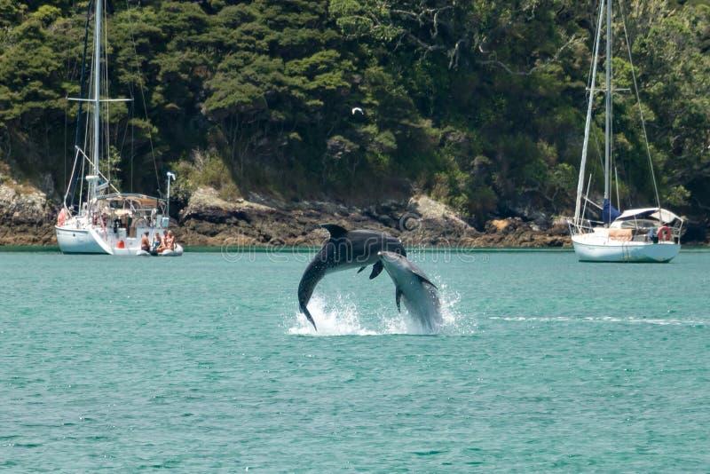 Dauphins de Bottlenose sautant ensemble au Nouvelle-Zélande photos libres de droits