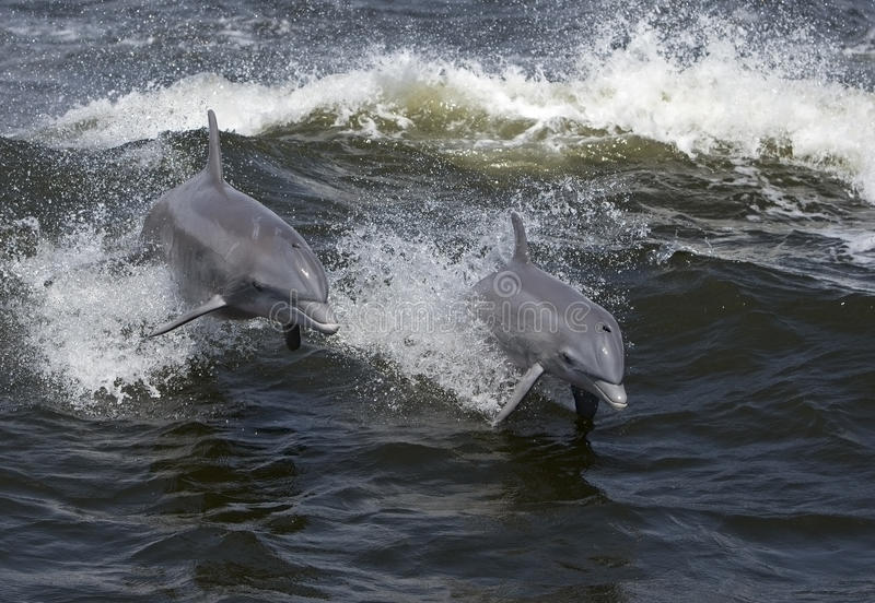 Dauphins de Bottlenose (truncatus de Tarsiops) photo stock