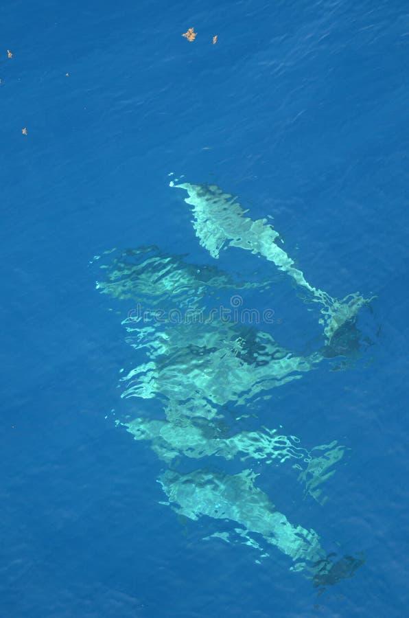dauphins de Bouteille-nez, truncatus de Tursiops, nageant dans l'océan images libres de droits