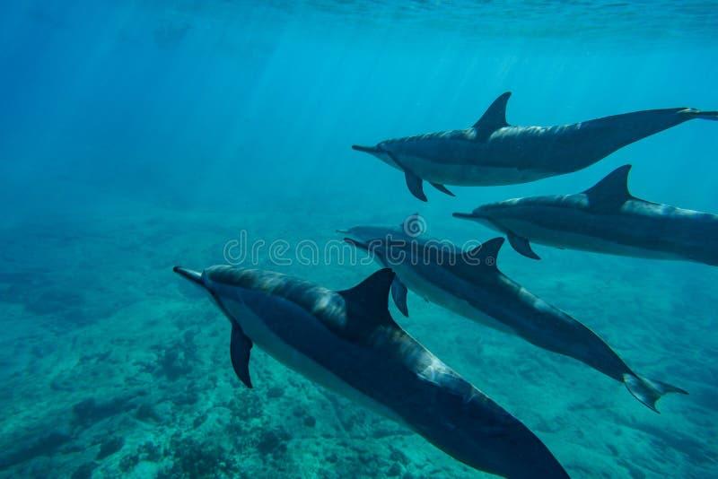 Dauphins de fileur images stock