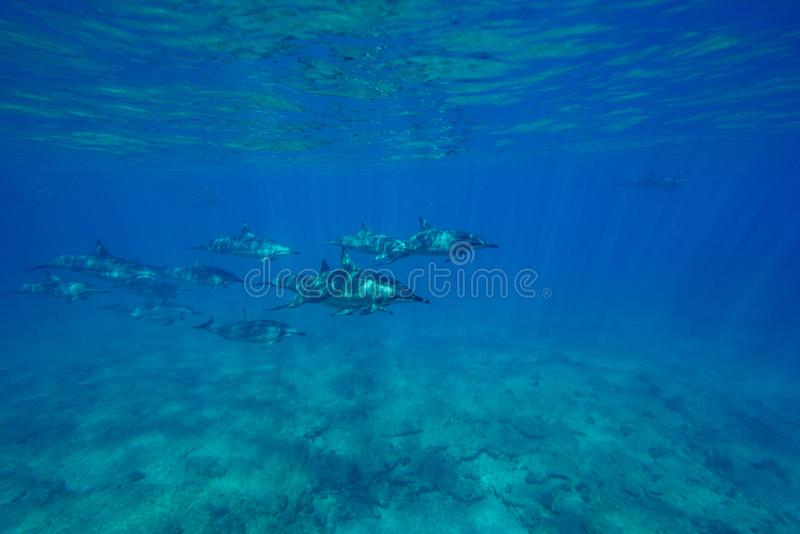 Dauphins de fileur photo stock