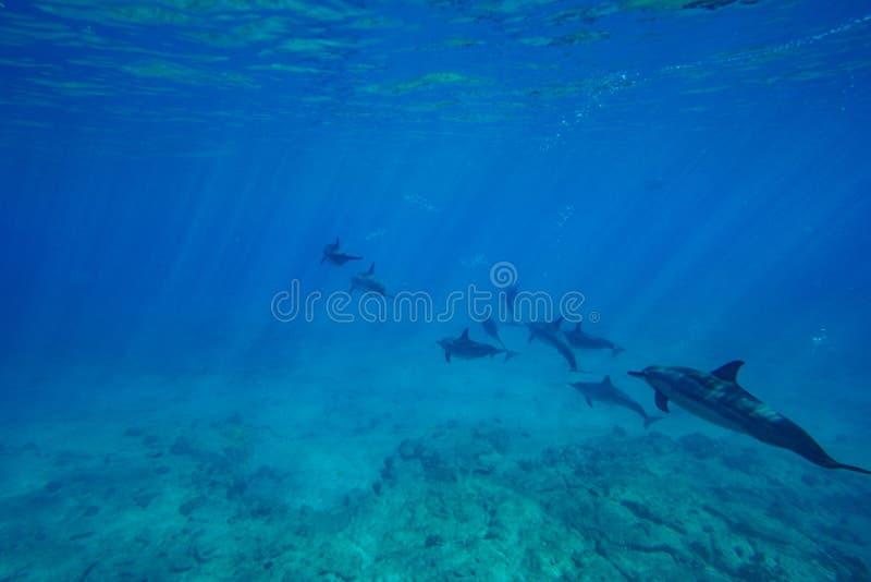 Dauphins de fileur images libres de droits