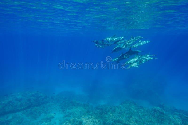 Dauphins de fileur photo libre de droits