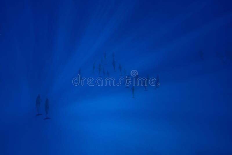 Dauphins de fileur photos libres de droits