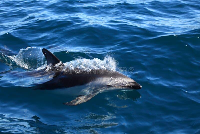 Dauphins de Puerto Madryn en Argentine photographie stock libre de droits