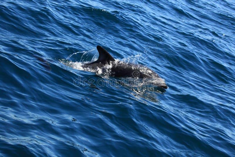 Dauphins de Puerto Madryn en Argentine images libres de droits