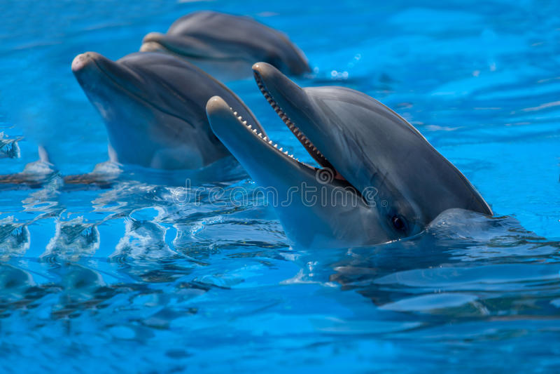 Dauphins drôles dans la piscine photos libres de droits