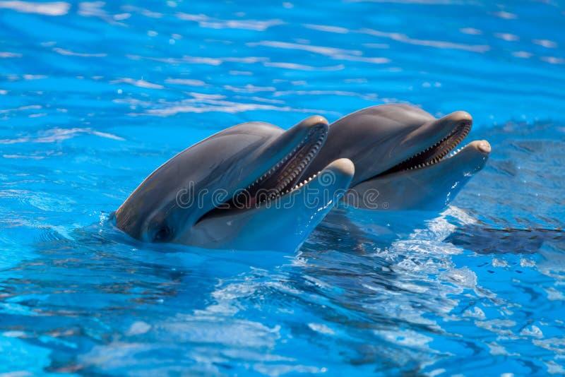 Dauphins drôles dans la piscine images stock