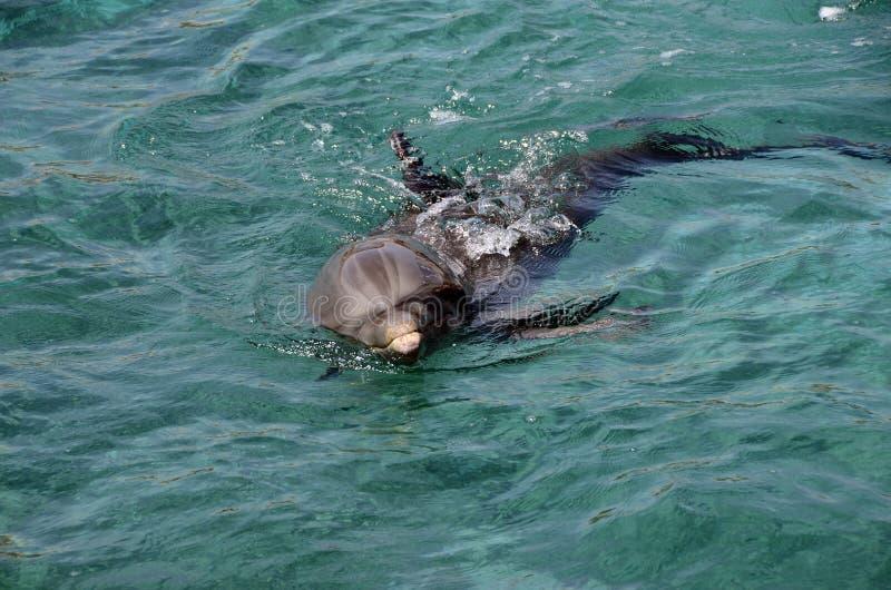 Download Dauphins En Eau De Mer Des Caraïbes Photo stock - Image du nageoire, faune: 76086490