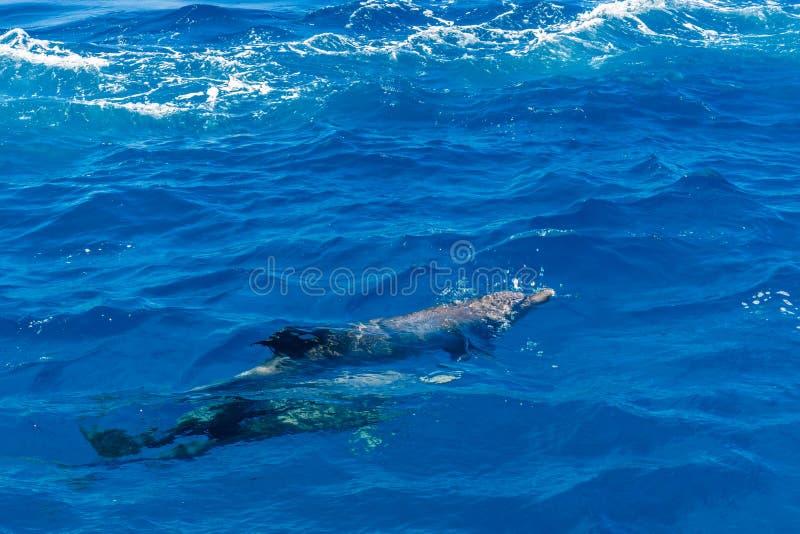 Dauphins en Mer Rouge pas loin de la ville de Hurghada, Egypte photographie stock libre de droits
