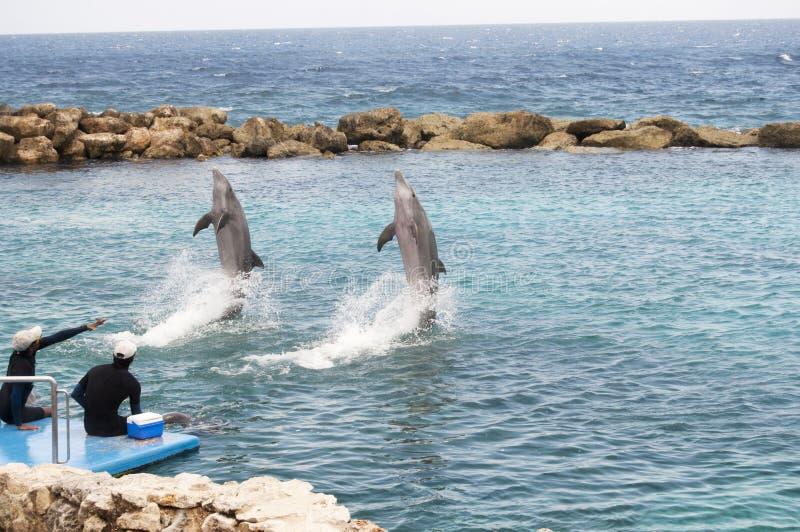 Dauphins faisant des tours photographie stock