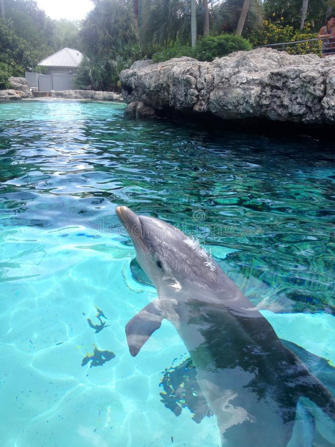 Dauphins nageant photographie stock