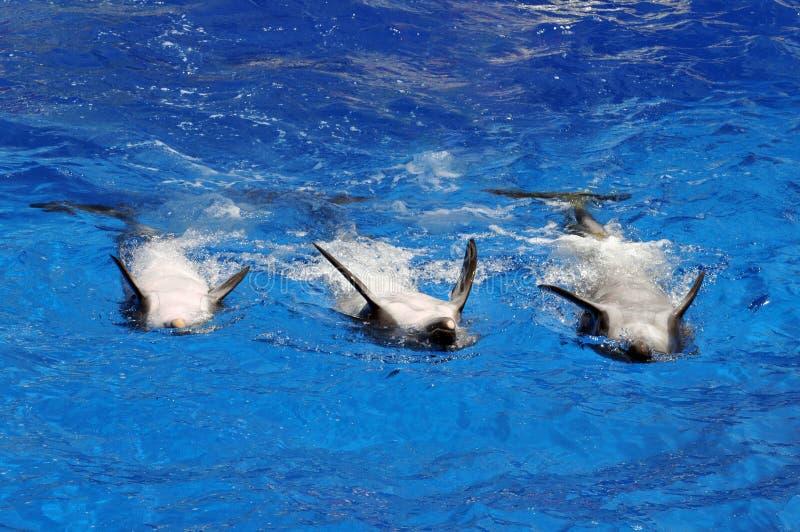 Dauphins nageant sur leurs dos photo libre de droits