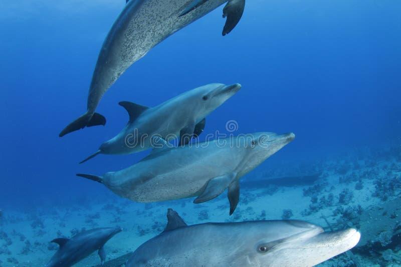 Dauphins passant par en Mer Rouge, Egypte images libres de droits
